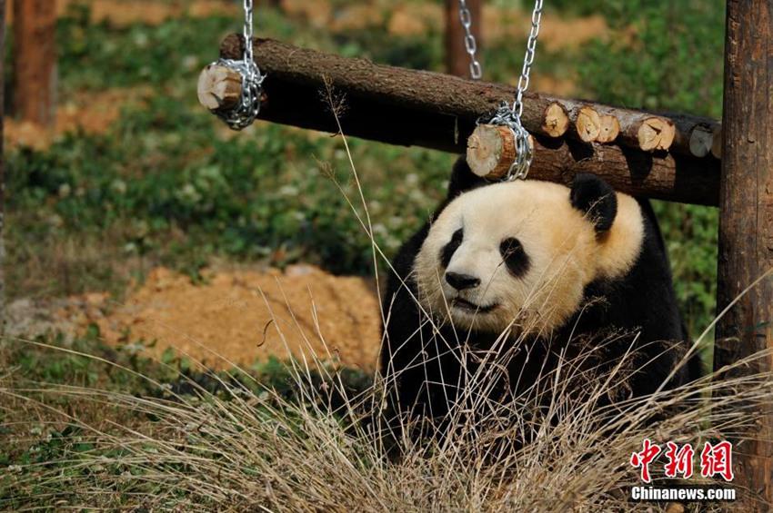 高清:云南野生动物园为情绪低落熊猫装电视【5】