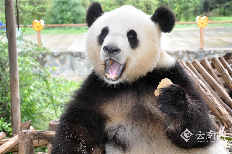 高清:云南野生动物园熊猫情绪恢复