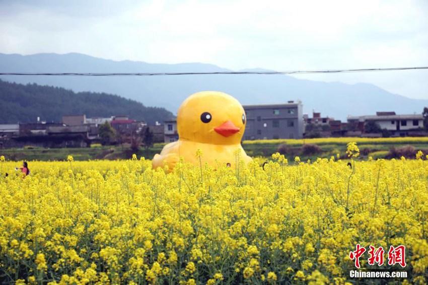 """高清:""""大黄鸭""""亮相江西安义油菜花田引围观【5】"""