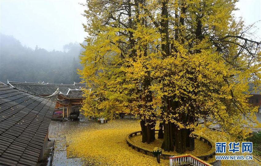 高清 湖北1500岁银杏迎四海宾客