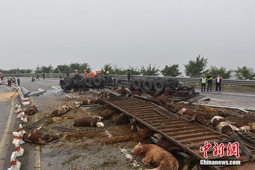 一辆满载48头牛的大挂车侧翻在匝道上,造成车内2人受伤,车上多
