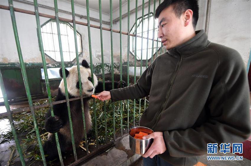 高清:兰州市动物园大熊猫