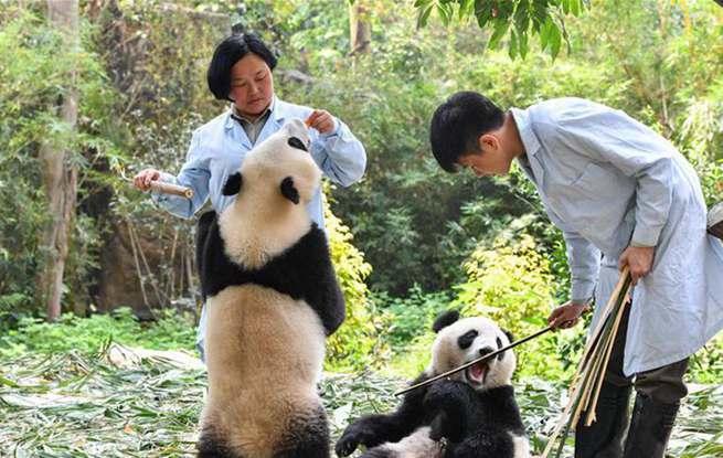 广州:双胞胎大熊猫断母乳 迈出独立生活第一步