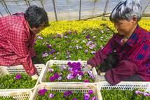 河北廊坊:春花铺就农民致富路