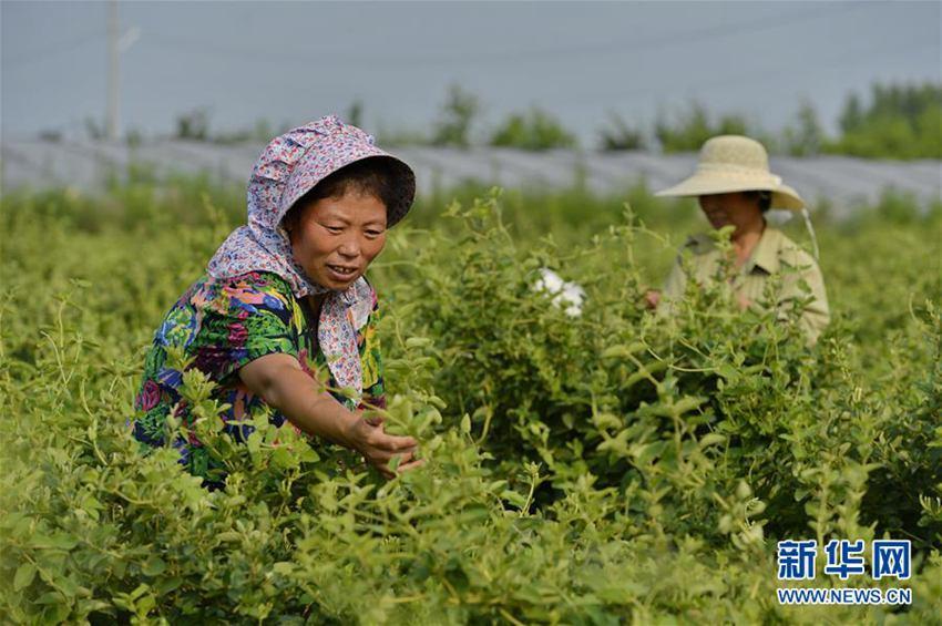 6月20日,河北省巨鹿县堤村乡纪家寨村农民在采摘金银花。
