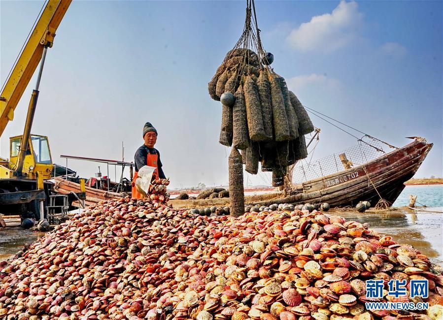 10月22日,乐亭县姜各庄镇南海滨村的养殖户在渔船码头将收获的扇贝卸下船。