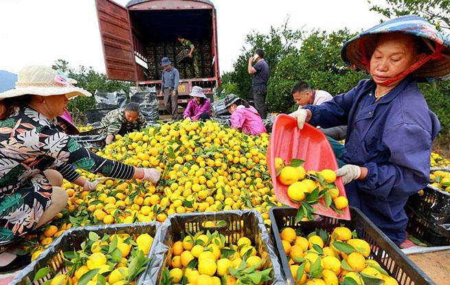 江西峡江:蜜橘丰收