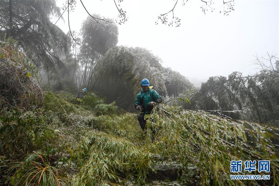 12月9日,宁波市奉化区供电公司溪口供电所抢修人员在溪口镇周家岭村清理山林毛竹。