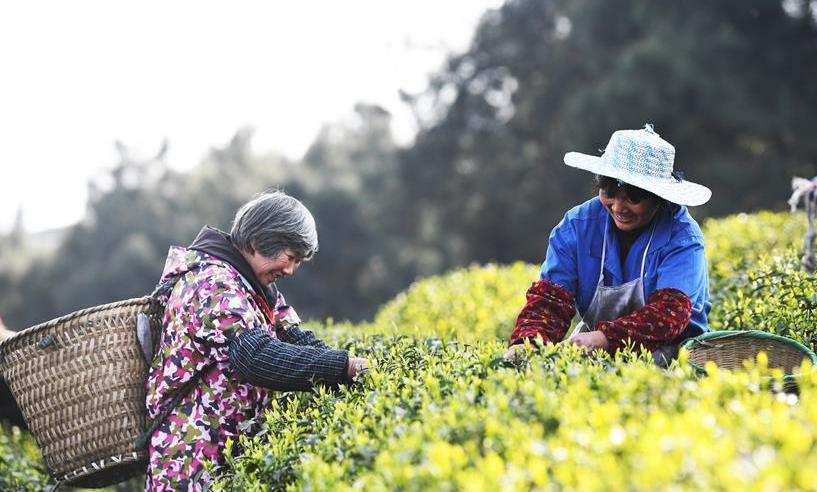 重庆市巴南区:春茶采摘正当时