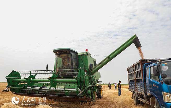 安徽颍上:小麦喜获丰收  秸秆利用出路多