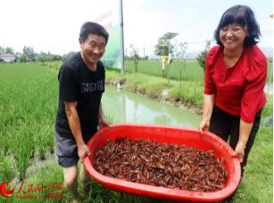 光山:水稻田里收虾忙