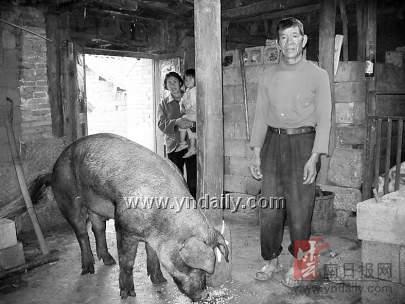 云南江川畜牧局强行阉割农户公猪事件后续--地