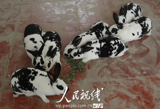 山东聊城一农民育出熊猫獭兔
