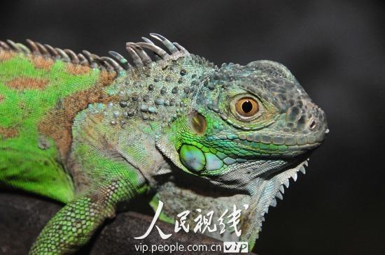 """四川南充:绿色蜥蜴动物园""""安家"""""""